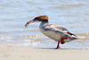 Common Merganser, female, Bullard's Beach State Park, Bandon, Oregon.