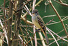 Great-crested Flycatcher, Little River NWR, Broken Bow, Oklahoma.