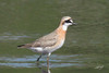 Mongolian Plover, Stanley Lake, Seaside, Oregon.