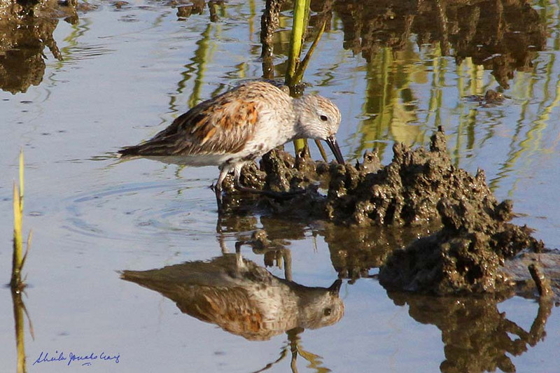 Dunlin, South Padre Island Birding and Nature Center, Texas.