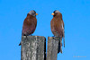 Grey-crowned Rosy-Finch, coastal sub-sp left, interior sub-sp, right. Golf Course Road, Enterprise, Oregon. (As originally photographed, NOT photoshopped other than to crop and color adjust.)