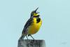 Western Meadowlark, Harney Lake, Narrows, Oregon.