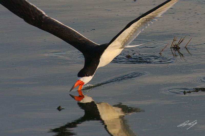 Black Skimmer, South Padre Island, Texas.