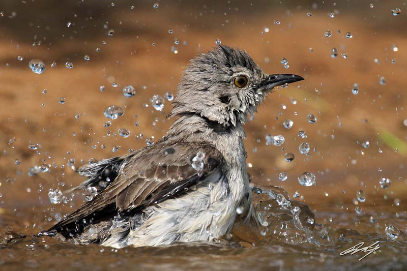 "Northern Mockingbird, Santa Clara Ranch, McCook, Texas. ""Splish splash I was takin' a bath ..."""
