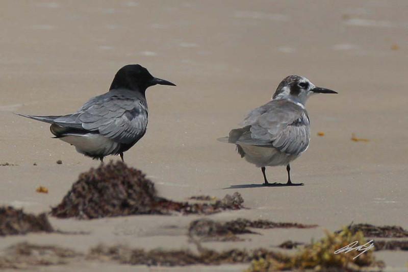 Black Tern, Padre Island National Seashore, Texas.