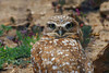 Burrowing Owl, captive at nature center, Sweetwater NWR, Chula Vista, California.