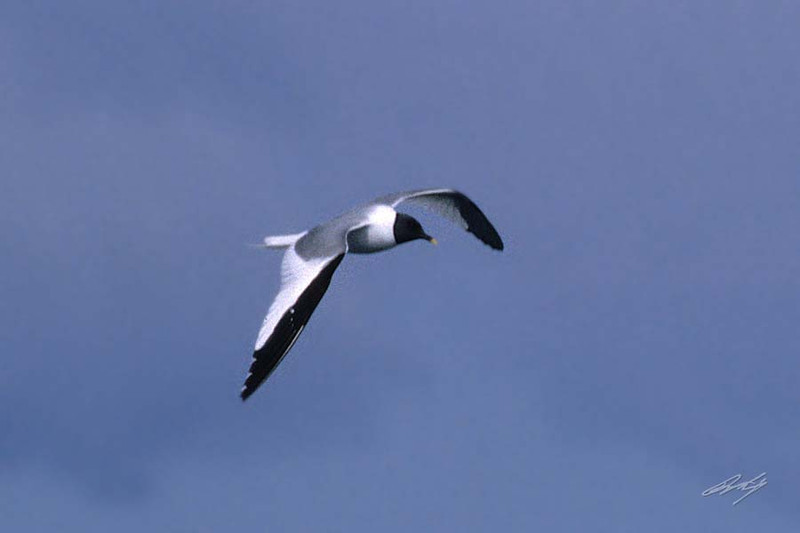 Sabine's Gull, Pacific Ocean SW of Newport, Oregon.