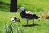 Blue Snow Goose, Emporia Zoo, Emporia, Kansas.