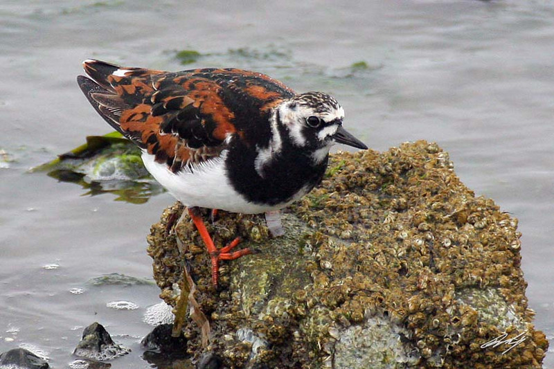 Ruddy Turnstone, Tokeland Point, Tokeland, Washington.