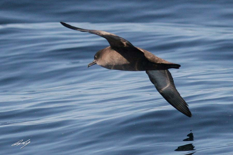 Short-tailed Shearwater, Pacific Ocean SW of Newport, Oregon.