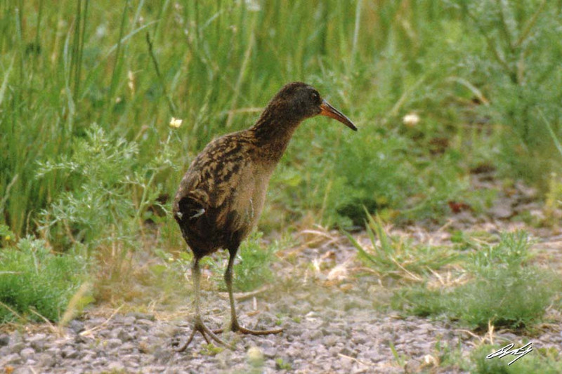 Virginia Rail, Ridgefield NWR, Ridgefield, Washington.