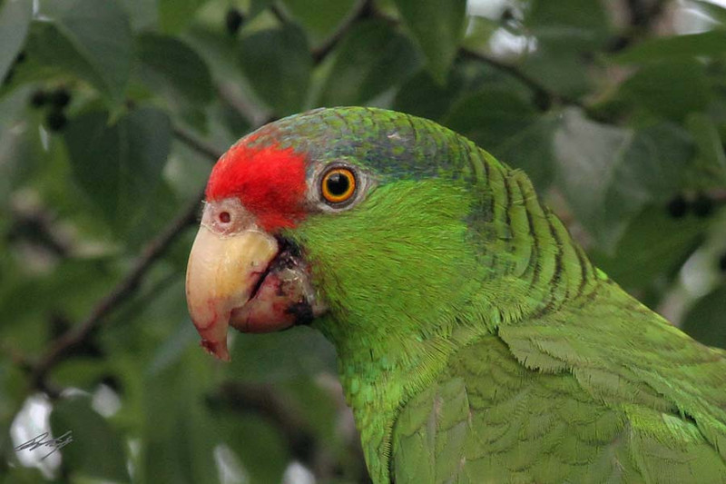 Red-crowned Parrot, Harlingen, Texas.
