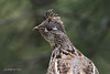 Ruffed Grouse, Wakefield-Cameron Lake Road, Washington.