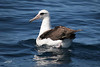 Laysan Albatross, Pacific Ocean SW of Newport, Oregon.