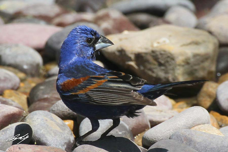 Blue Grosbeak, male, Martin Refuge, Edinburg, Texas.