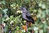 Phainopepla, Rancho Santa Ana Botanical Gardens, Claremont, California.