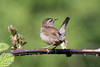 Marsh Wren, Fernhill Wetlands, Forest Grove, Oregon.