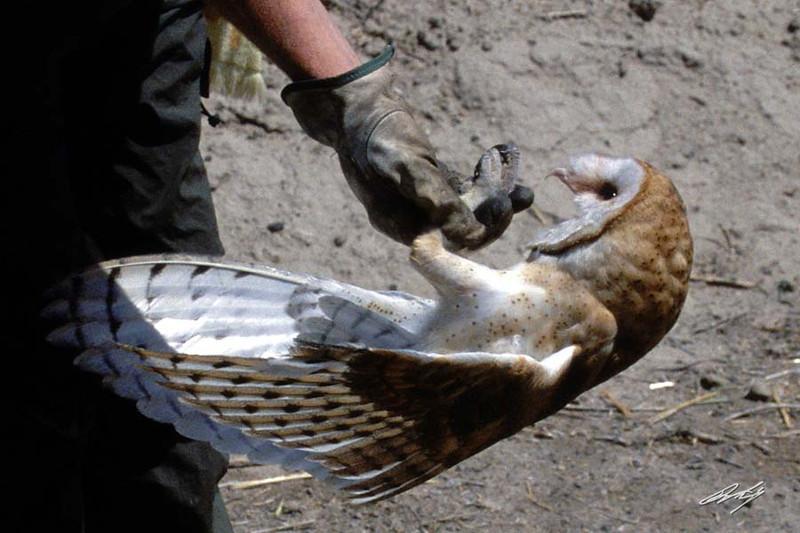 Barn Owl being released after rehabilitation, Raptor Rehabilitation, Kuna, Idaho.