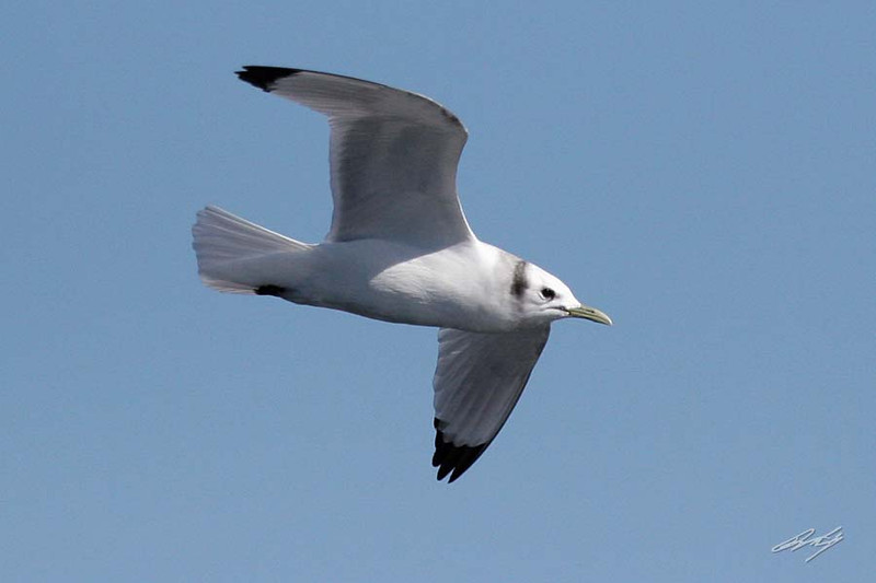 Black-legged Kittiwake, Pacific Ocean SW of Newport, Oregon.