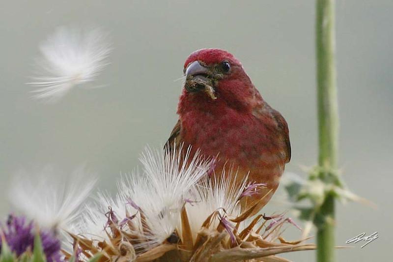Purple Finch, male, Andrew Molera State Park, Big Sur, California.