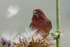 Purple Finch, male, Andrew Molera State Park, Big Sur, California.