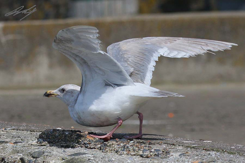 Theyer's Gull, 3rd winter, Nye Beach, Newport, Oregon.