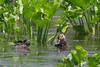 Masked Duck, Laguna Atascosa NWR, Texas.