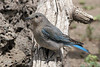 Mountain Bluebird, female, Cabin Lake, Oregon.