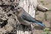 Mountain Bluebird, female, Cabin Lake, Oregon.
