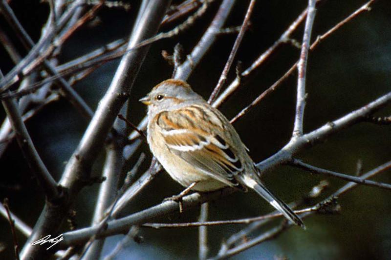 American Tree Sparrow, Enterprise, Oregon.