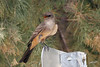 Say's Phoebe, Havasu NWR,Golden Shores,Nevada.