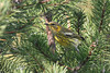Cape May Warbler, Huron-Manistee National Forest, Mio, Michigan.