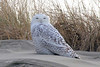 Snowy Owl, South Jetty, Newport, Oregon.