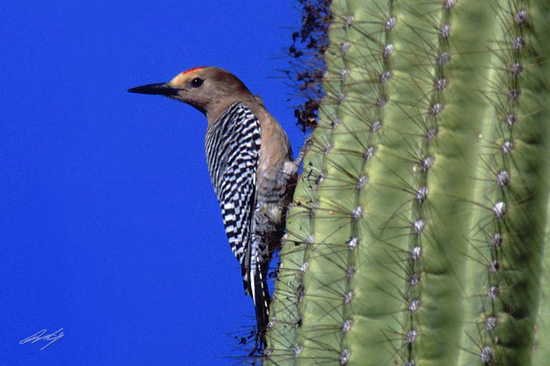 Gila Woodpecker, male, Bill Williams River NWR, Havasu Springs, Arizona.