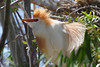 Cattle Egret, Airport, Dos Palos, California.
