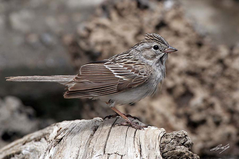 Brewer's Sparrow, Cabin Lake, Oregon.