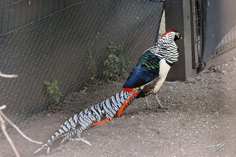 Lady Amherst's Pheasant, Potter Park Zoo, Lansing, Michigan.