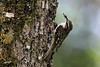 Brown Creeper. Kiwa Trail, Ridgefield NWR, Washington.