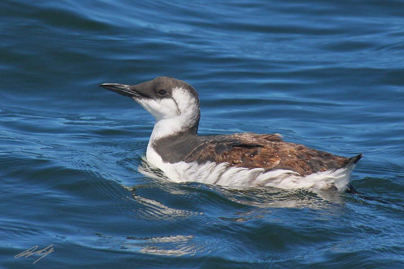 Common Murre, Pacific Ocean west of Charleston, Oregon.
