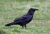 Common Raven, Arcata, California.