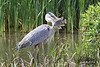 Great Blue Heron anticipates a meal. South Padre Island Birding and Nature Center, Texas.