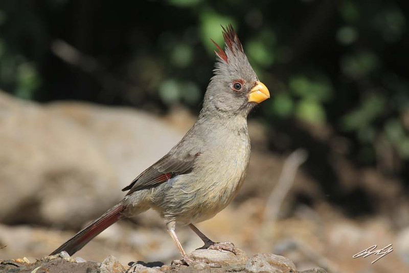 Pyrrhuloxia, female, Martin Refuge, Edinburg, Texas.
