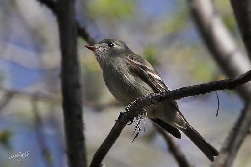 Grey Flycatcher, Sinlahekin Valley, Washington.