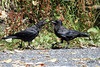 Northwestern Crows, Orcas Island, Washington.