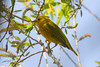 Yellow Warbler, male, Salt Plains NWR, Cherokee, Oklahoma.