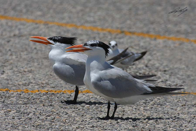Elegant Tern, Padre Island National Seashore, Texas.