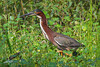 Green Heron, City Park, Broken Bow, Oklahoma.