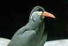 Inca Tern, Oregon Zoo, Portland, Oregon.