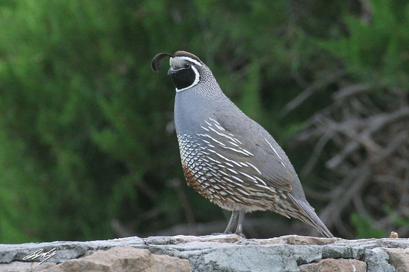 California Quail (aka Valley Quail), male, Malheur NWR, Burns, Oregon.