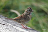 Song Sparrow, Eastern sub-sp, Seney NWR, Germfask, Michigan.